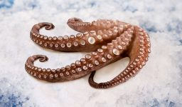 Southern Red Octopus
