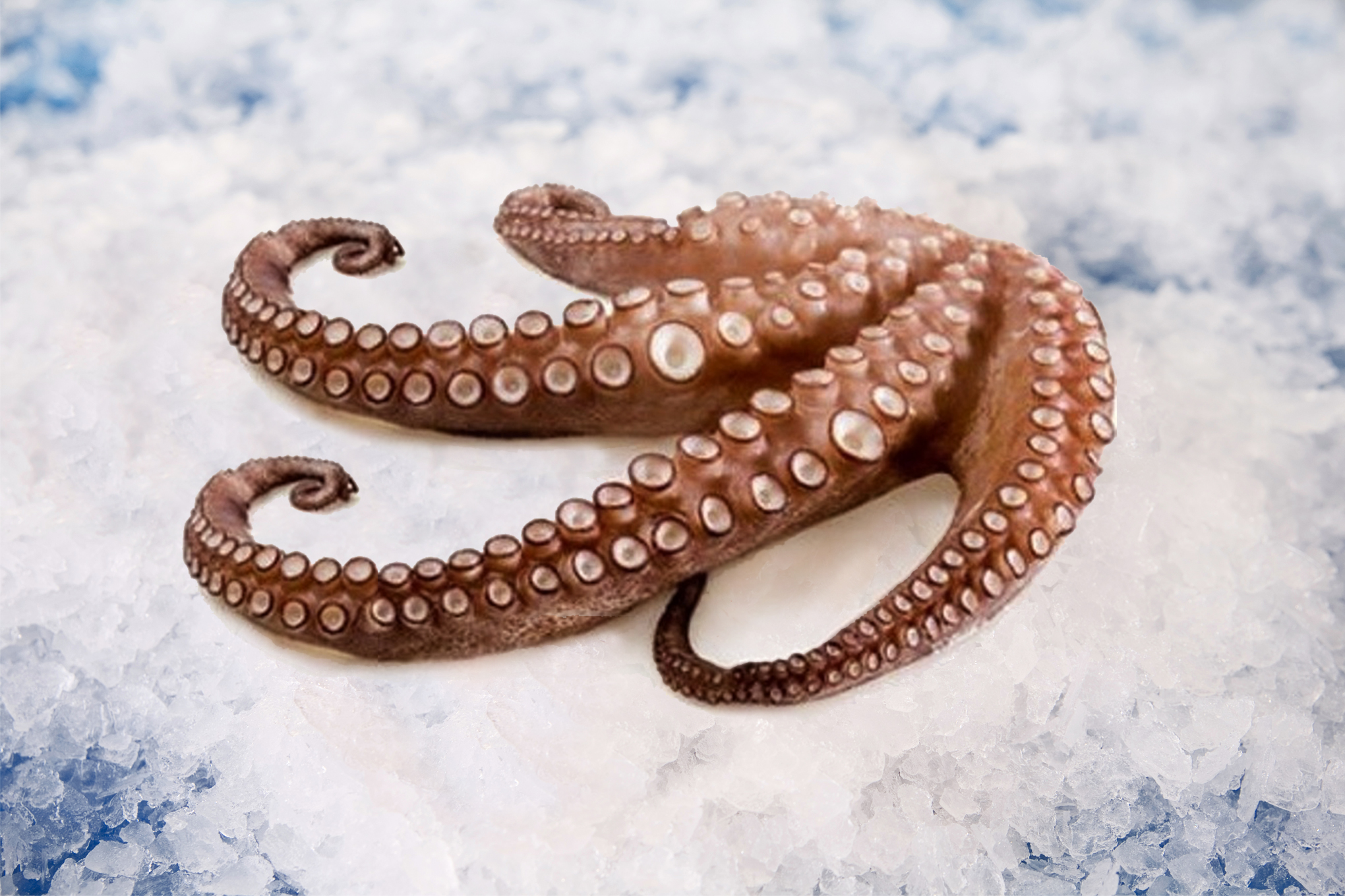 Southern Red Octopus -...