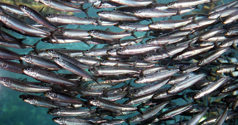 Sardine catches in Namibia, South Africa drop, horse mackerel stable