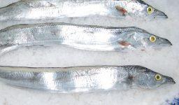 Ribbon Fish (Brazil)