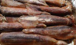 Illex Squid